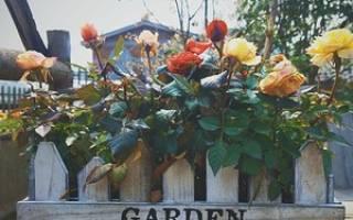 Чайно гибридные розы уход осенью подготовка к зиме