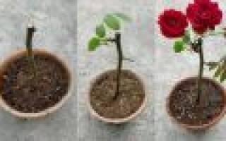 Вырастить розу кустовую розу