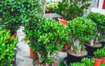 Как подрезать денежное дерево в домашних условиях