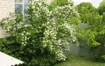 Как пересадить жасмин садовый