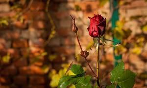 Роза уход осенью подготовка к зиме в северной полосе