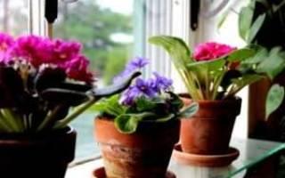 Обновление фиалок в домашних условиях