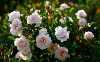 Как ухаживать за розами кустовыми в саду