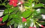 Дипладения цветок как ухаживать в домашних условиях