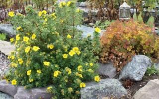 Уход за лапчаткой осенью подготовка к зиме