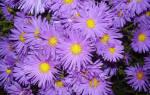 Цветы сентябрины уход осенью