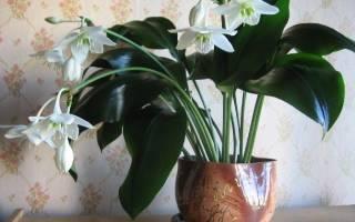 Как ухаживать за цветком эухарис