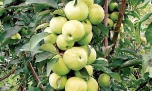 Как ухаживать за колоновидной яблоней осенью