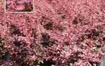 Барбарис тунберга фото сорта rose glow