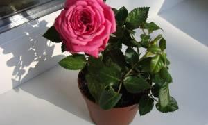 Как бороться с паутинным клещом на комнатных розах