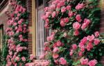 Плетистая роза размножение черенками