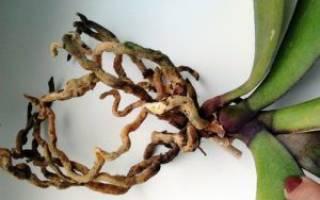 Что делать если у орхидеи загнили корни