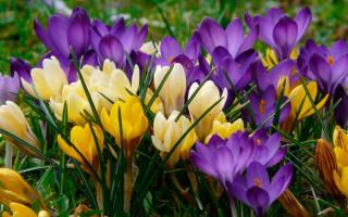 Когда цветет крокус месяц