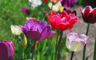 Как подготовить грядку для тюльпанов