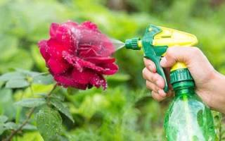 Что делать с тлей на розах