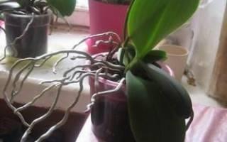 Извлечение орхидеи из старого горшка