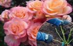 Когда лучше посадить розу