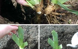 Когда рассаживать ирисы весной или осенью
