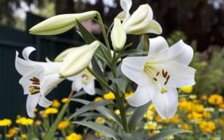 Как выращивать лилии в открытом грунте