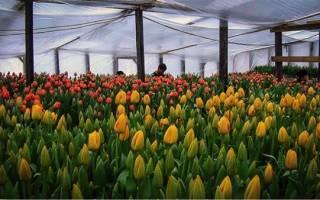 Выращивание тюльпанов может быть прибыльным