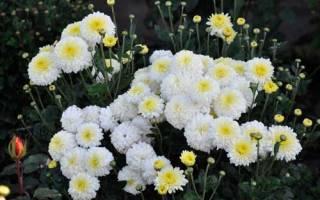 Хризантема корейская бархатная осень смесь посадка и уход