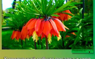 Как ухаживать за цветком рябчик королевский