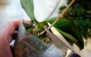 Надо ли обрезать у орхидеи отцветшие цветоносы