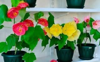 Цветок комнатный с листьями похожими на кленовые