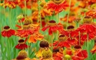 Уход за гелениумом осенью