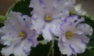 Особенности выращивания фиалки
