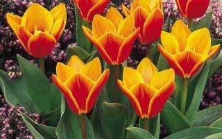 Обязательно ли каждый год выкапывать тюльпаны