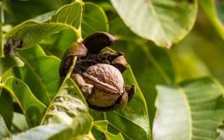 Грецкий орех дерево или кустарник