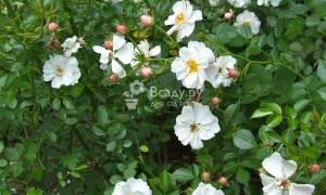 Роза avon отличается яркими белыми цветками