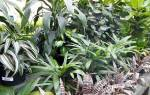 Комнатные декоративные лиственные растения