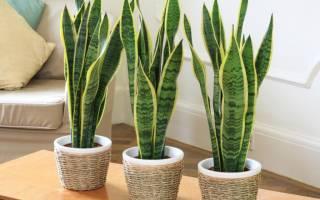 Как ухаживать за цветком щучий хвост в домашних условиях
