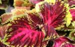 Домашний цветок колеус как ухаживать