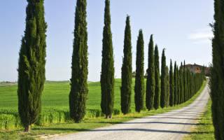 Кипарис хвойное или лиственное дерево