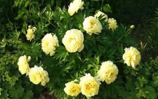 Гибридный пион сорта yellow grown