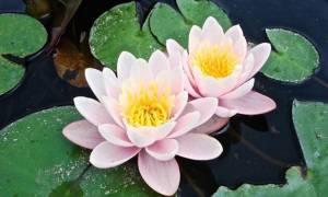 Как сохранить водяную лилию зимой