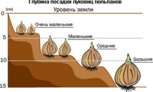 Как садить тюльпаны осенью