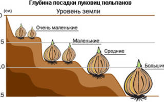 Тюльпаны пересадка и уход в открытом грунте осенью