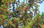 Низкорослые хвойные растения для сада сорта