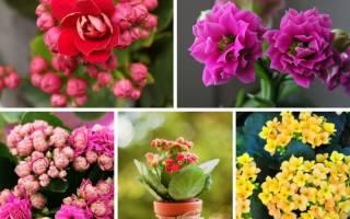 Цветы домашние с названием