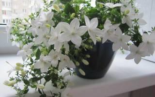 Комнатный цветок кампанула жених и невеста посадка и уход