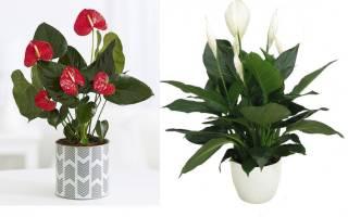 Мужской цветок спатифиллум как ухаживать