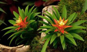 Декорум цветок как ухаживать в домашних условиях
