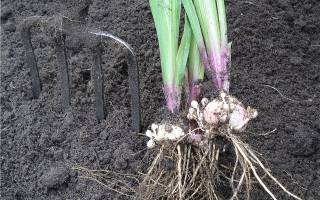 Выкапываем луковицы гладиолусов после цветения