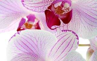 Фаленопсис уход осенью и зимой