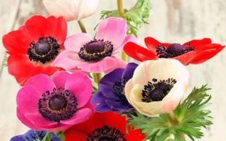 Уход и выращивание анемоны