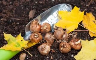 Луковичные посадка и уход в открытом грунте осенью